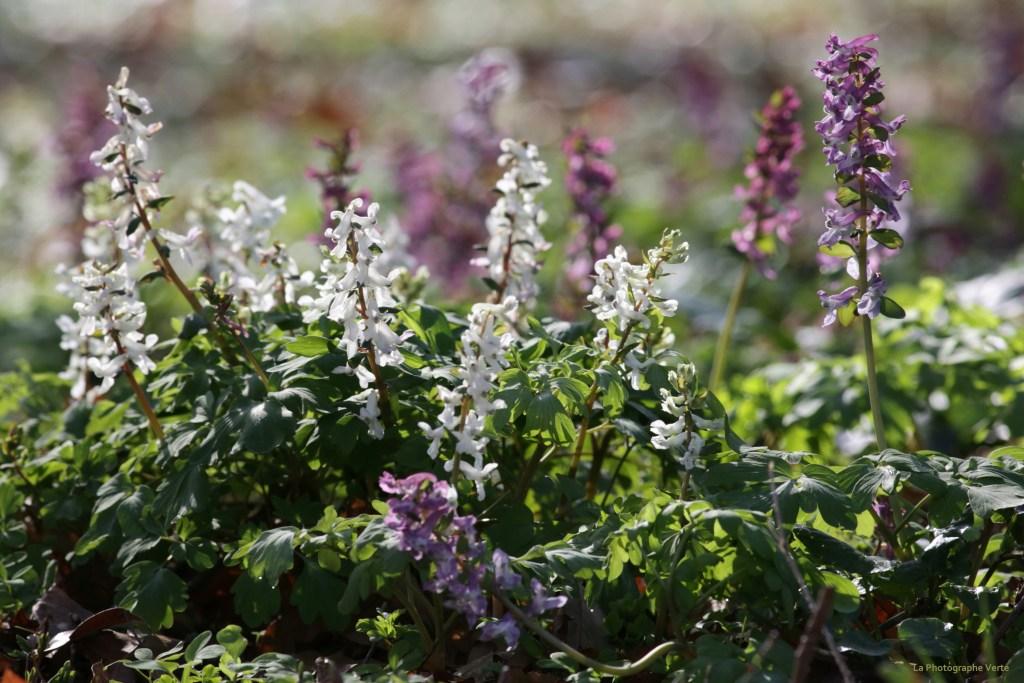 photos de fleurs: corydales blanches et mauves