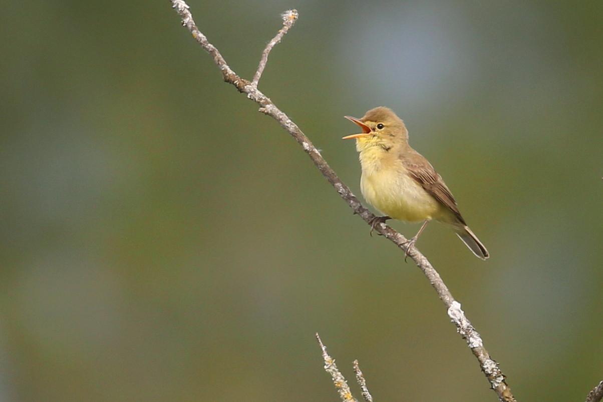 photographie ornithologique: hypolais polyglotte photographié le 29 mai 2021 aux Teppes de Verbois
