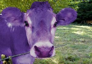 Резултат с изображение за виолетова крава