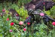Dossier- La production de pavot augmente, poussée par la demande d'héroïne aux Etats-Unis