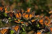 Les papillons monarques de retour au Mexique et sous haute surveillance ! (Videos)