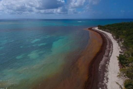 Enquête – Les sargasses envahissent les plages du Quintana Roo ! (Videos)