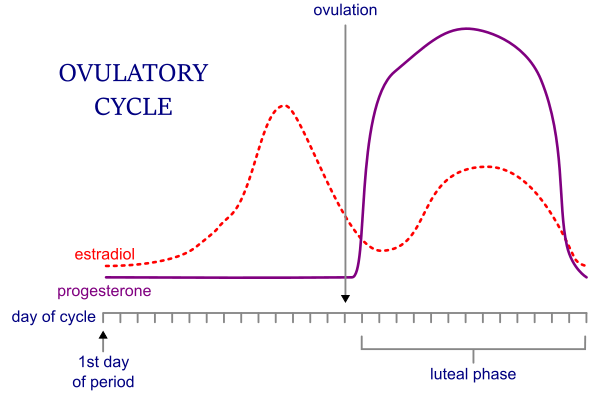 Ovulatory cycle