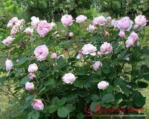 Roseragno