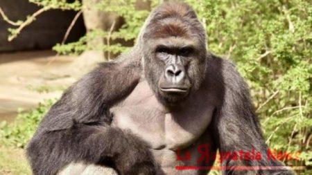 gorilla_Harambe