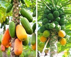 Albero Papaya