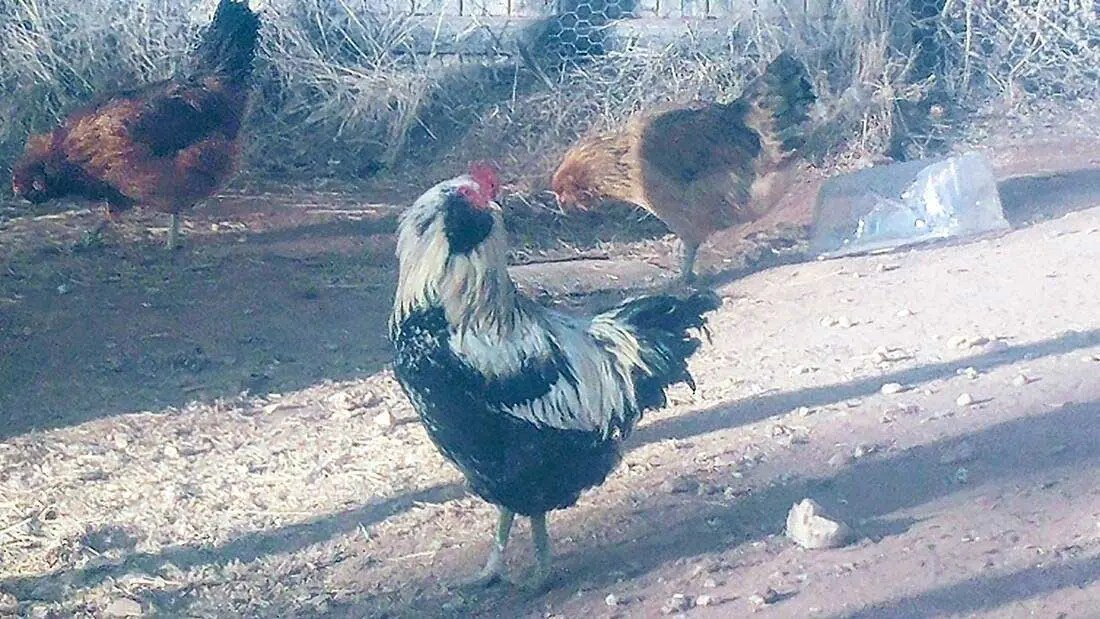 our-animals-buster-the-rooster