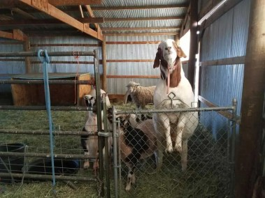 our-animals-pong-and-the-goats