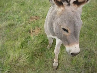 our-animals-benito-the-donkey