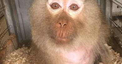 Pignataro Maggiore. Scimmia Macaca detenuta illegalmente: trasferita in un centro recupero animali esotici