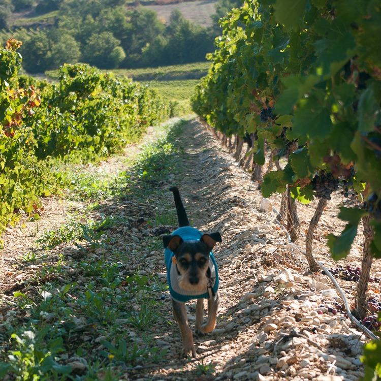 vignes-ventoux-chien