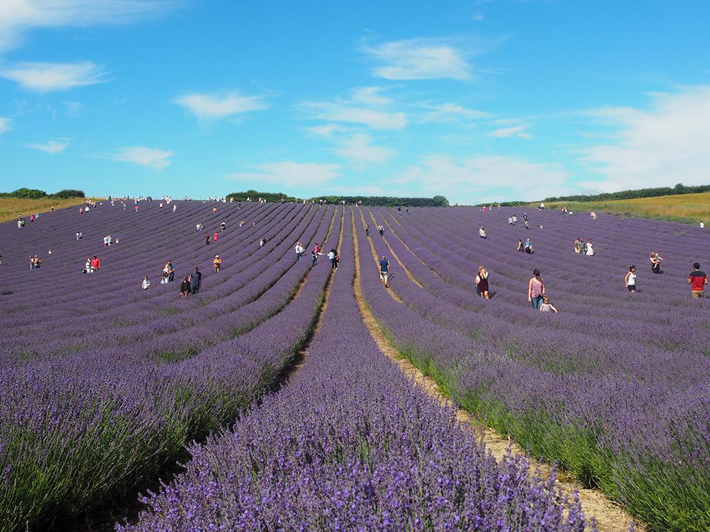 lordington-lavender-1