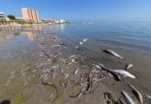 Peces muertos en el mar menor. FOTO DE ARCHIVO