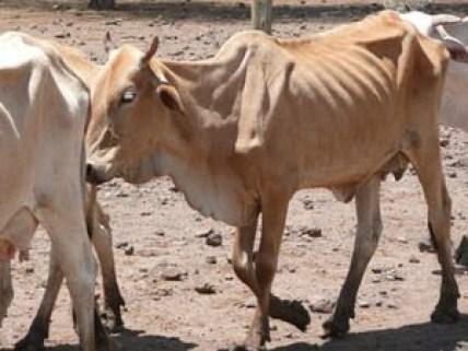 En dos meses han muerto más de 2.000 reses en el Cesar por el verano