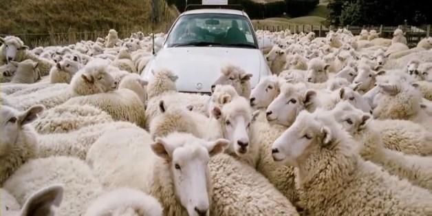 black sheep flock