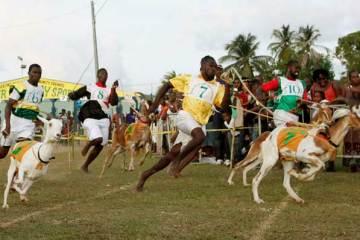 Goat-Racing-Tobago