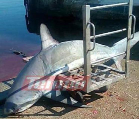 Ψαράδες έπιασαν καρχαρία 200 κιλών (Φώτο)