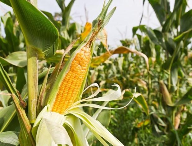 Μειωμένες έως 20% οι φετινές εκτάσεις καλαμποκιού στη Λάρισα