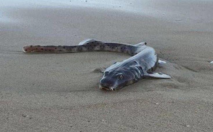 Το παράξενο θαλάσσιο πλάσμα που ξεβράστηκε σε παραλία
