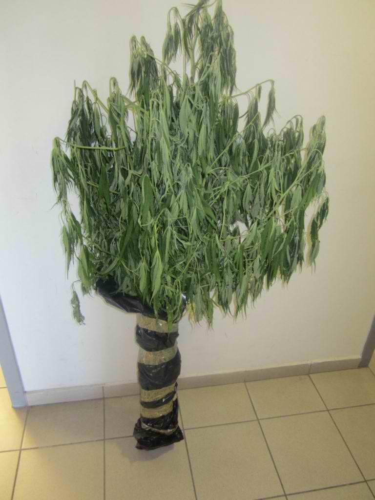 Ελασσόνα: Καλλιεργούσε στο σπίτι του δενδρύλλια κάνναβης