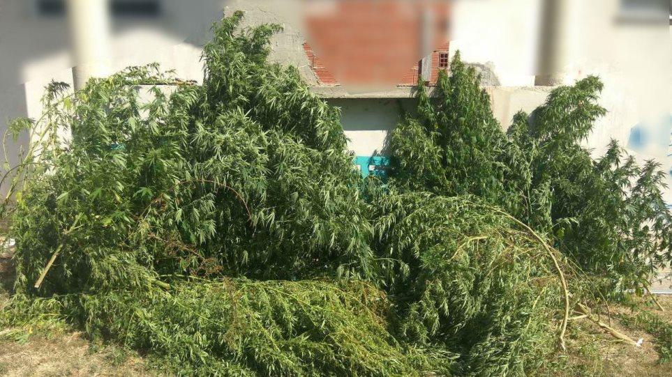 Φύτεψε 30 χασισόδεντρα στην αυλή του σπιτιού του
