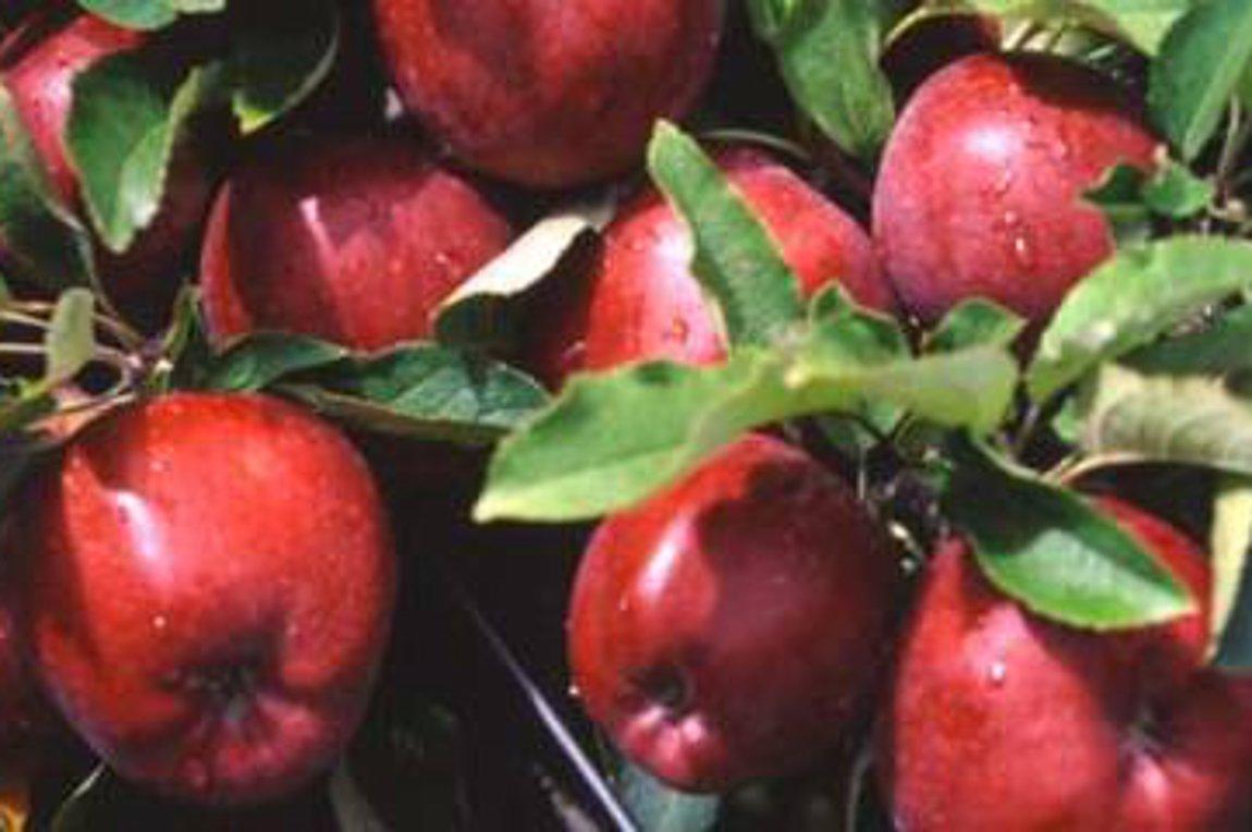 Σε καλύτερη µοίρα φέτος η αγορά των μήλων στην Αγιά