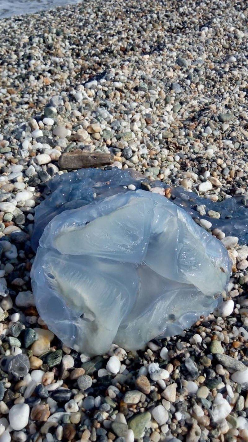 Μπλε μέδουσα βρέθηκε σε παραλία της Μεγάλης Βελανιδιάς