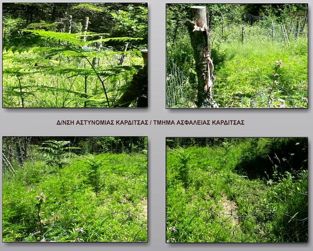Εντοπίστηκε φυτεία με εκατοντάδες δενδρύλλια κάνναβης στη λίμνη Πλαστήρα ΦΩΤΟ