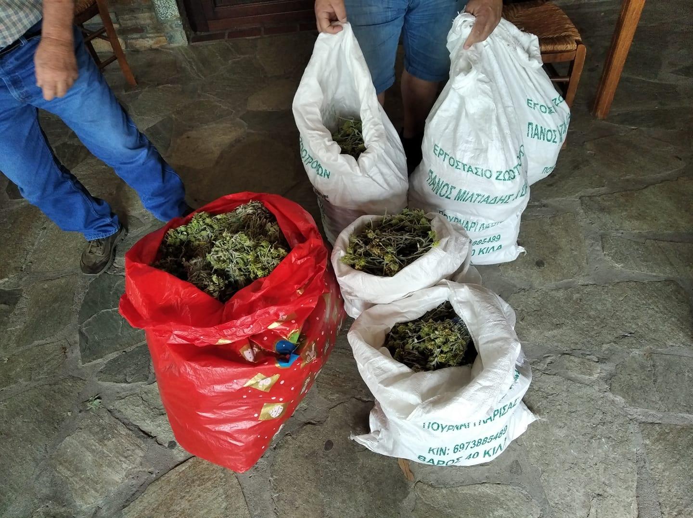 Λάρισα: Κατασχέθηκαν ποσότητες άγριου τσαγιού που συλλέχθηκε παράνομα στον Κίσσαβο
