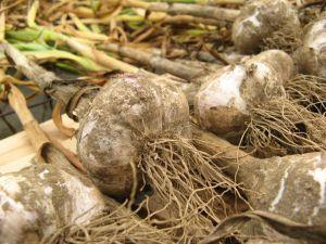 Allium sativum, garlic