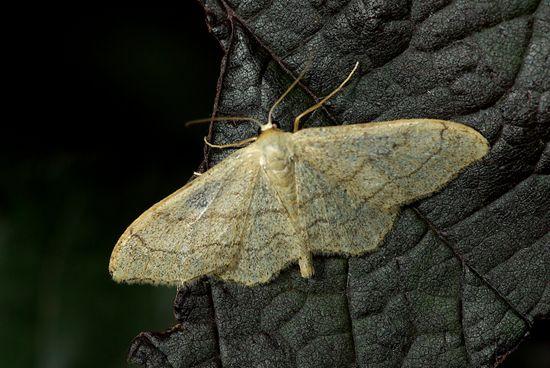 papillon de nuit larousse