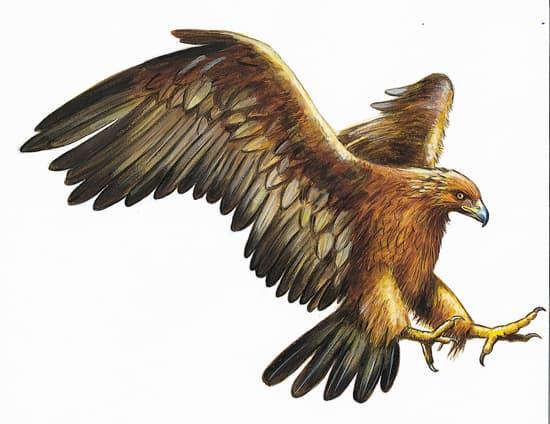 aigle royal larousse