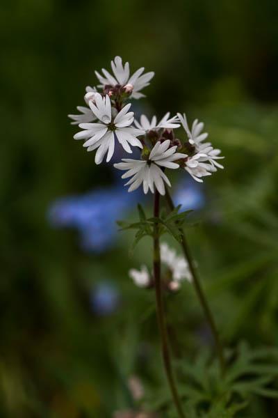POTD: Woodland Star #2