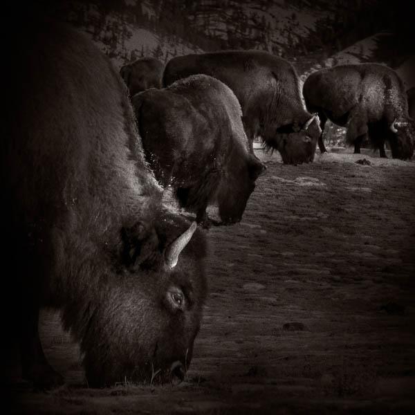 POTD: Bison #3