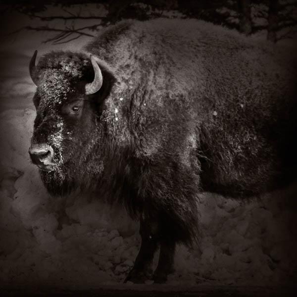 Bison #4