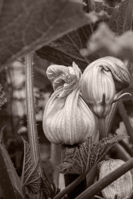 POTD: Zucch Blossom