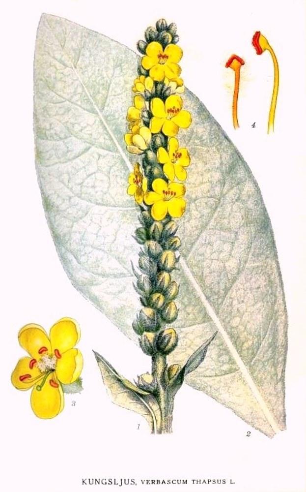 Gordolobo (Verbascum Thapsus), planta medicinal como sustituto del tabaco