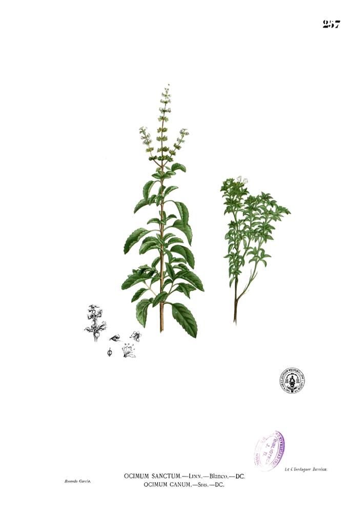 Tulasi, una planta sagrada que se puede beber, comer y fumar