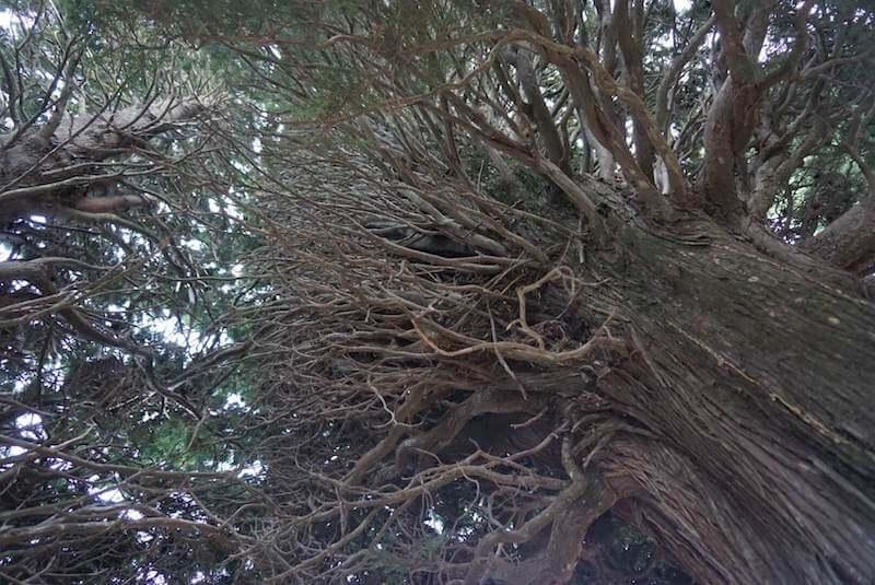 Mi morena El ciprés ramas desde abajo