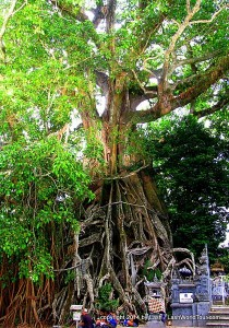 huge Banyan tree near Munduk
