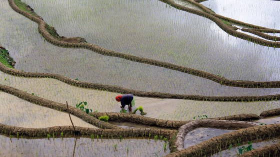 El cultivo de cultivos como el arroz, como se muestra aquí en Filipinas, requiere una gran cantidad de agua dulce y tiene un impacto ambiental.