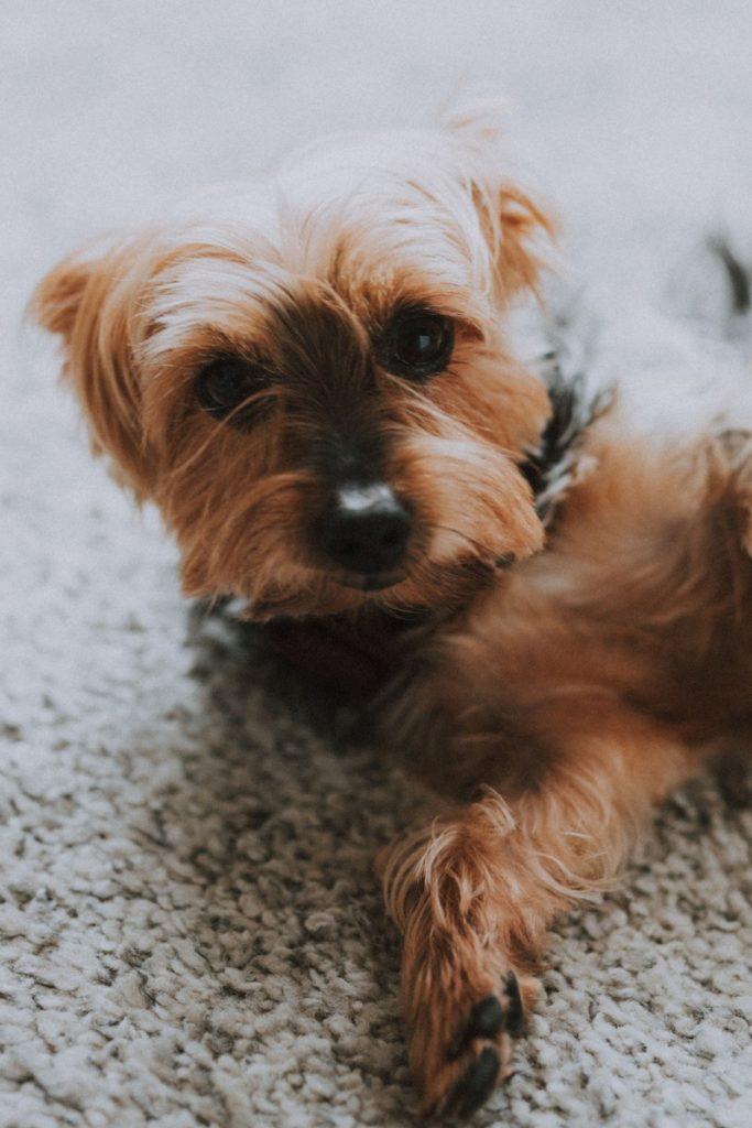 chien-yorkshire-mignon