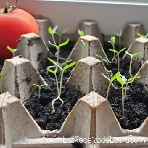 Como plantar tomates en casa