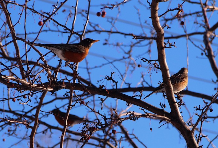 Three Robins in a tree with blue sky beyond
