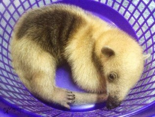 Anteater baby 2