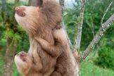 Some of KSTR's sloths