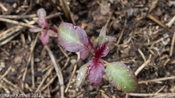 What's Eating my Amaranth? - shoot