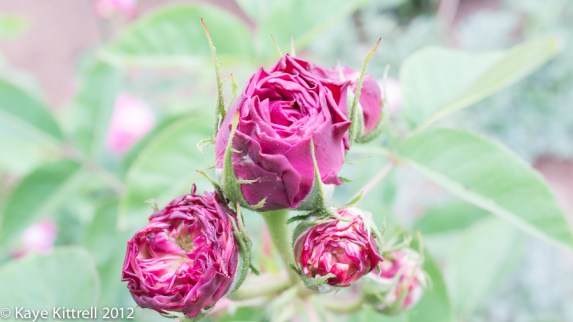A Rose by What Name? - buds