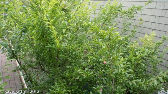 Plum Silly! - plum tree