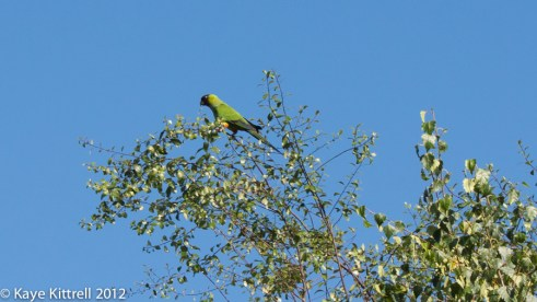 Speaking of Parrots - Nanday Conure parrot